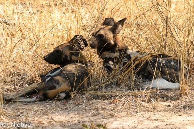 P Njobvu Wild Dogs (3)