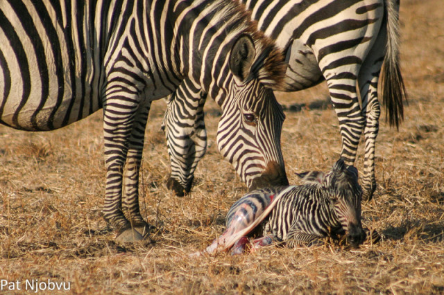 P Njobvu Zebra birth (1)