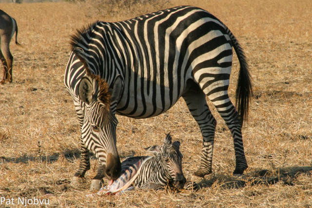 P Njobvu Zebra birth (3)
