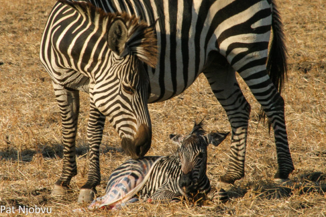 P Njobvu Zebra birth (4)