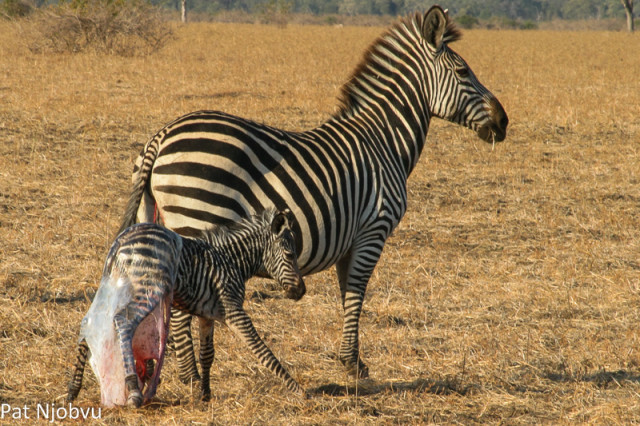 P Njobvu Zebra birth (6)