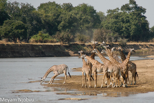 Meyam Girafes Crossing Aug 15 (1)