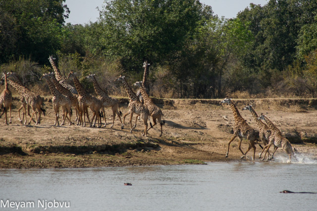 Meyam Girafes Crossing Aug 15 (11)