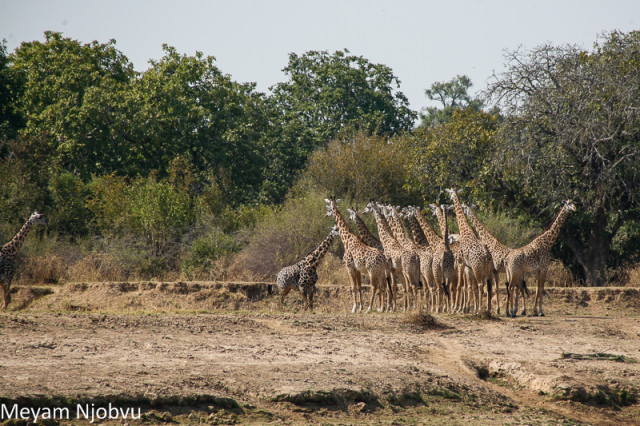 Meyam Girafes Crossing Aug 15 (12)