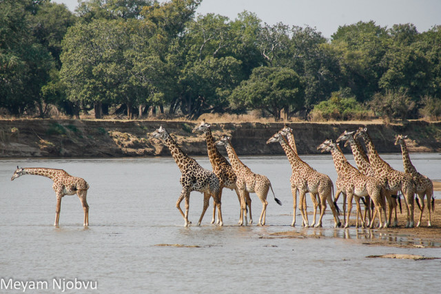 Meyam Girafes Crossing Aug 15 (2)