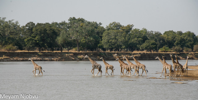 Meyam Girafes Crossing Aug 15 (3)