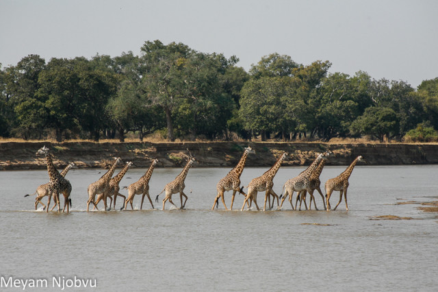 Meyam Girafes Crossing Aug 15 (4)