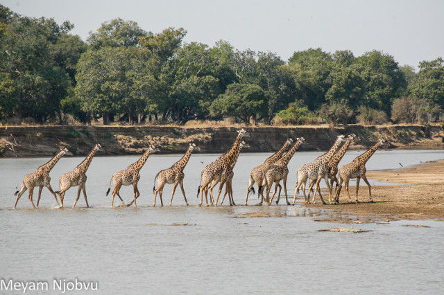 Meyam Girafes Crossing Aug 15 (5)