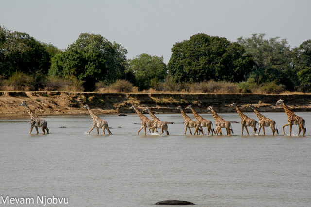 Meyam Girafes Crossing Aug 15 (6)
