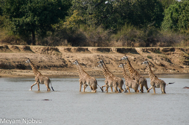 Meyam Girafes Crossing Aug 15 (7)