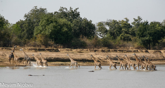 Meyam Girafes Crossing Aug 15 (8)