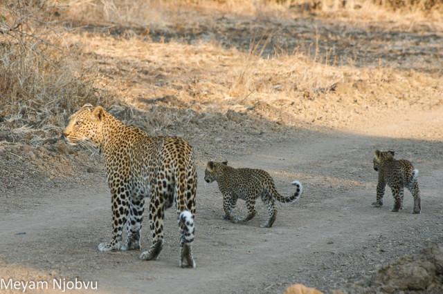 Meyam Leopard Malaika (1)