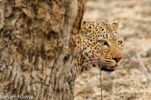 Meyam Leopard Malaika (12)