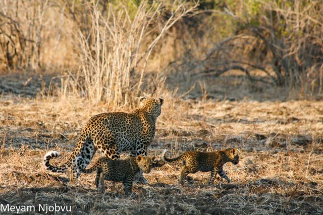 Meyam Leopard Malaika (2)