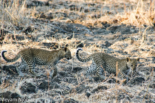 Meyam Leopard Malaika (3)