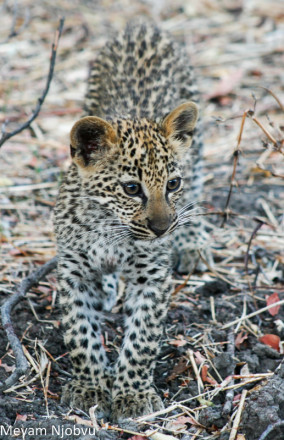 Meyam Leopard Malaika (4)