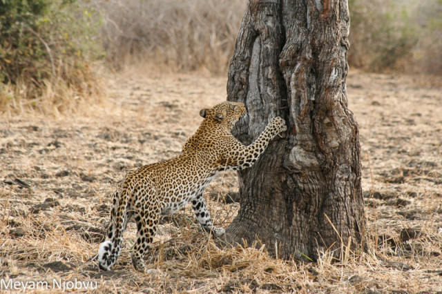 Meyam Leopard Malaika (5)