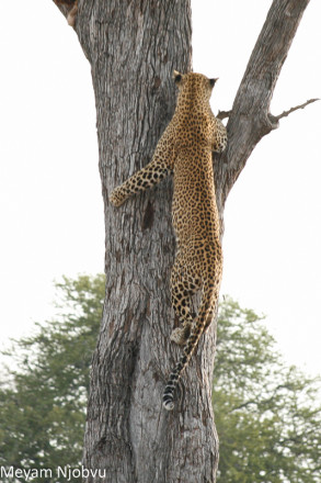 Meyam Leopard Malaika (6)