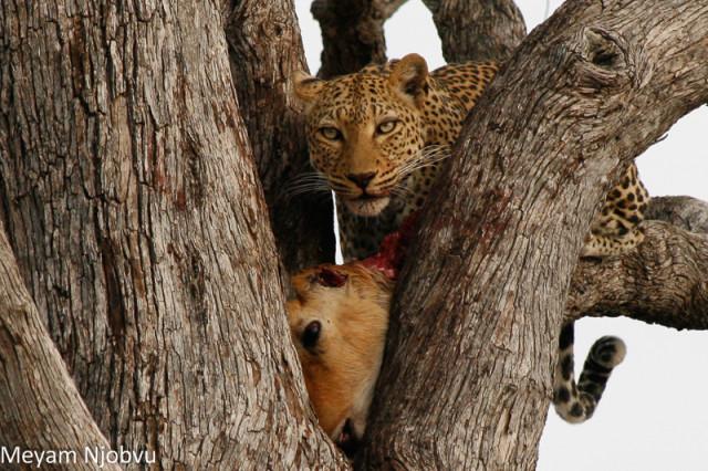 Meyam Leopard Malaika (8)