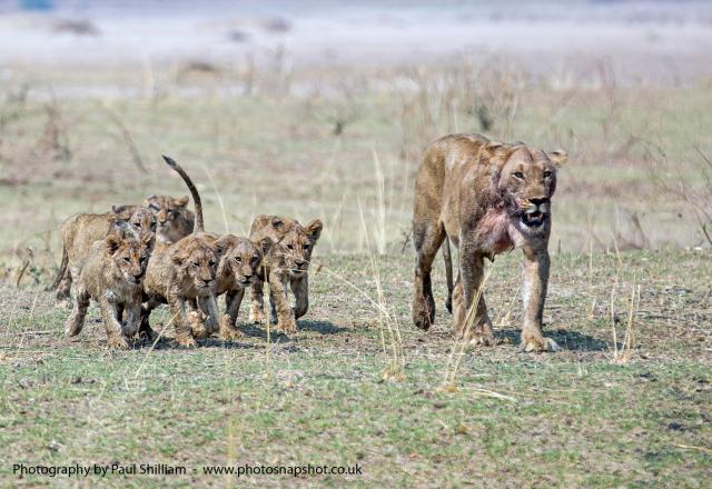 Lion & Cubs