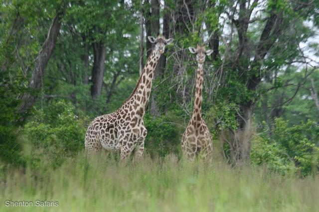 Giraffe near Mwamba Bush Camp