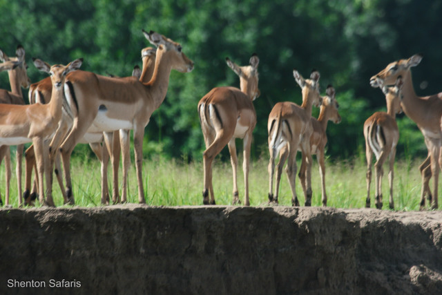 Impala on the bank