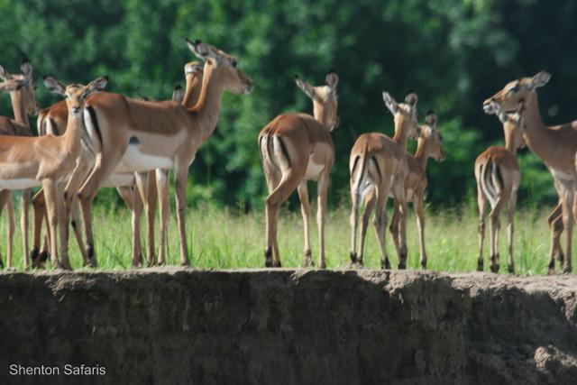 Impala on the bank