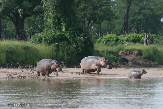 Hippo gangland's