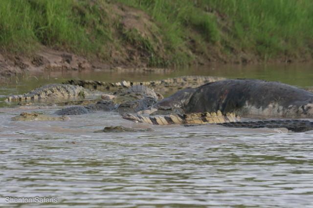 Crocs feeding on Hippo kill