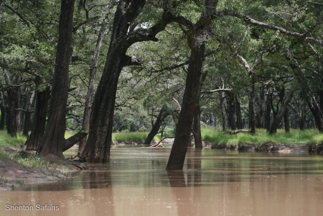 Kaingo Ebony forest in Flood