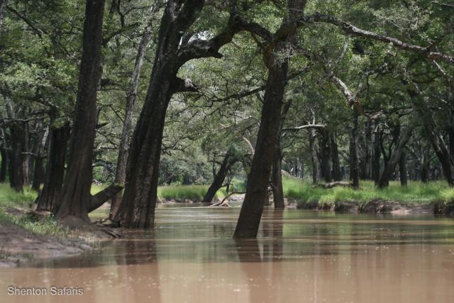 Kaingo Ebony forest in Flood