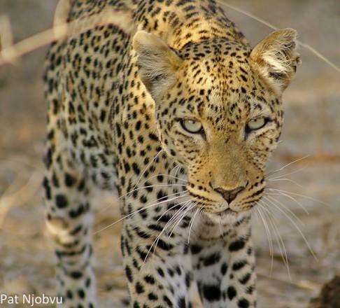 pat leopard