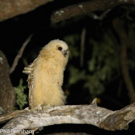 Baby-Pells-Fishing-Owl-1mb-439x440-2