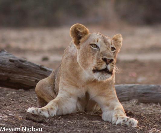 Lioness Calling 2