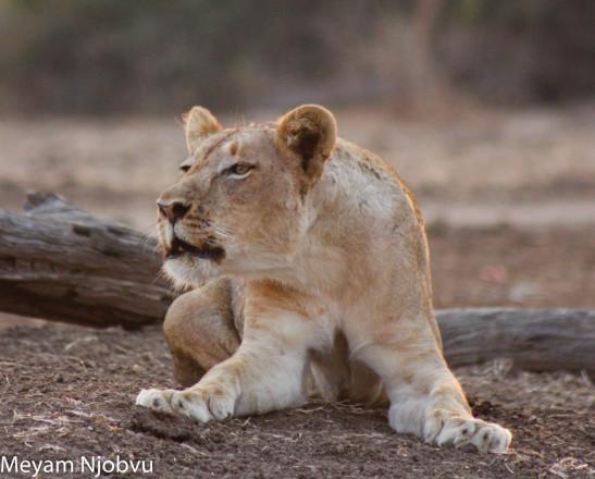 Lioness Calling