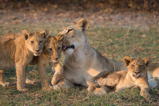Caring - Lioness with cubs, South Luangwa National Park, Zambia - 4ZM15_8322