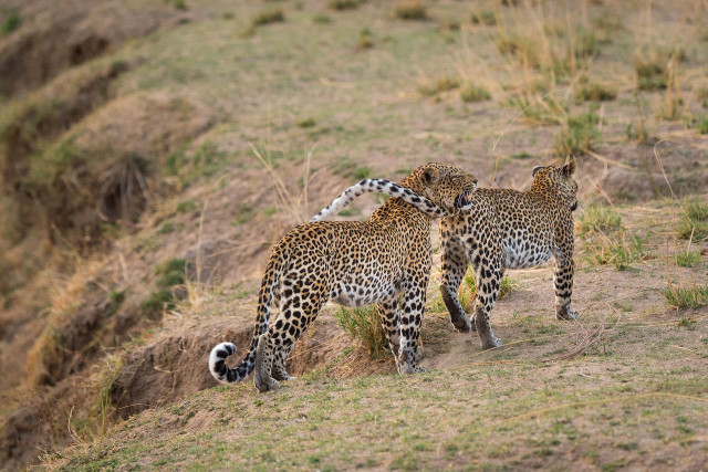 Entwine - Leopard with cub, South Luangwa National Park, Zambia - SZM15_5828