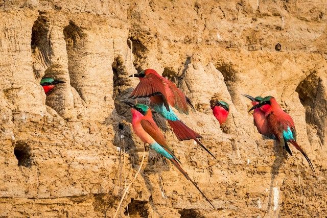 Nest site - Southern Carmine Bee-eaters, South Luangwa National Park, Zambia - SZM15_3650