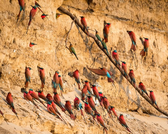Perched - Southern Carmine and White-fronted Bee-eaters, South Luangwa National Park, Zambia - SZM15_3411