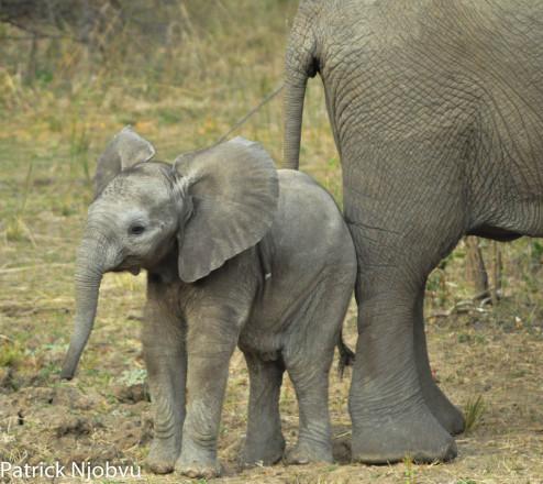 Cute Baby Elephant with Mum