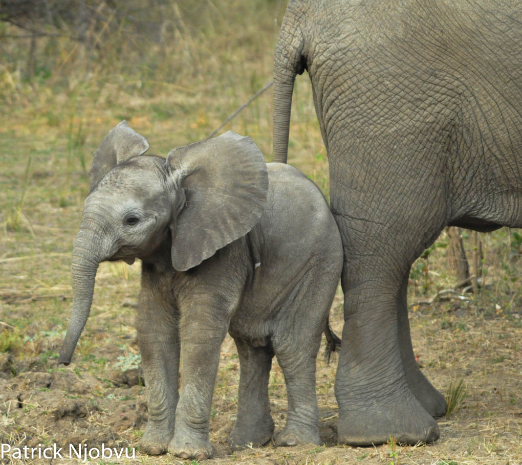 Cute Baby Elephant - It can never be overestimated