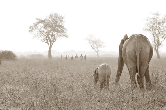 Walk Elephants (2)-2