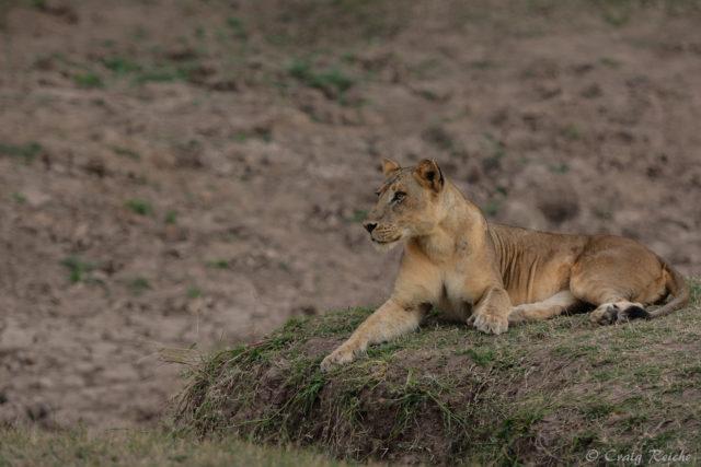 lion-4920 - Copy