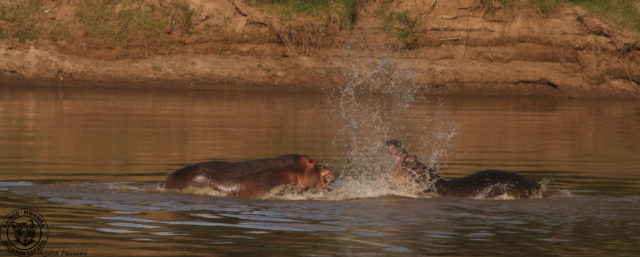 Hippo Sequence1-3