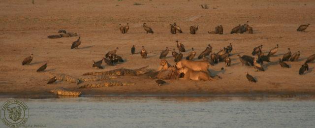 Lions Hippo Kill2