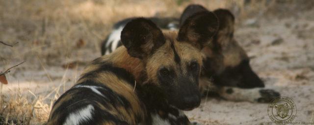 Wild Dogs5