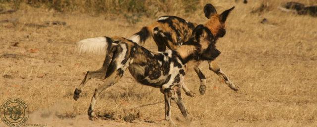 Wild Dogs7
