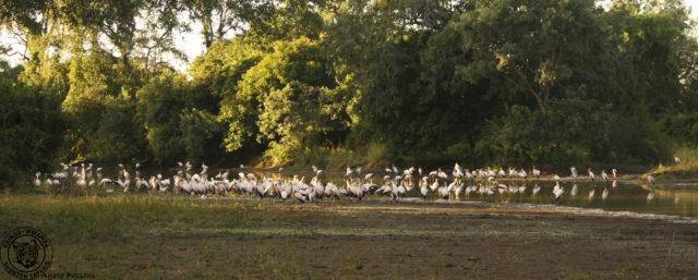 Yellowbilled stork fishing party2