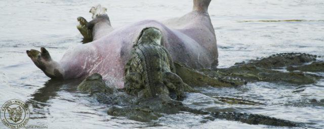 crocodile dead hippo