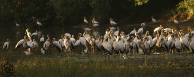 yellow billed stork feeding party
